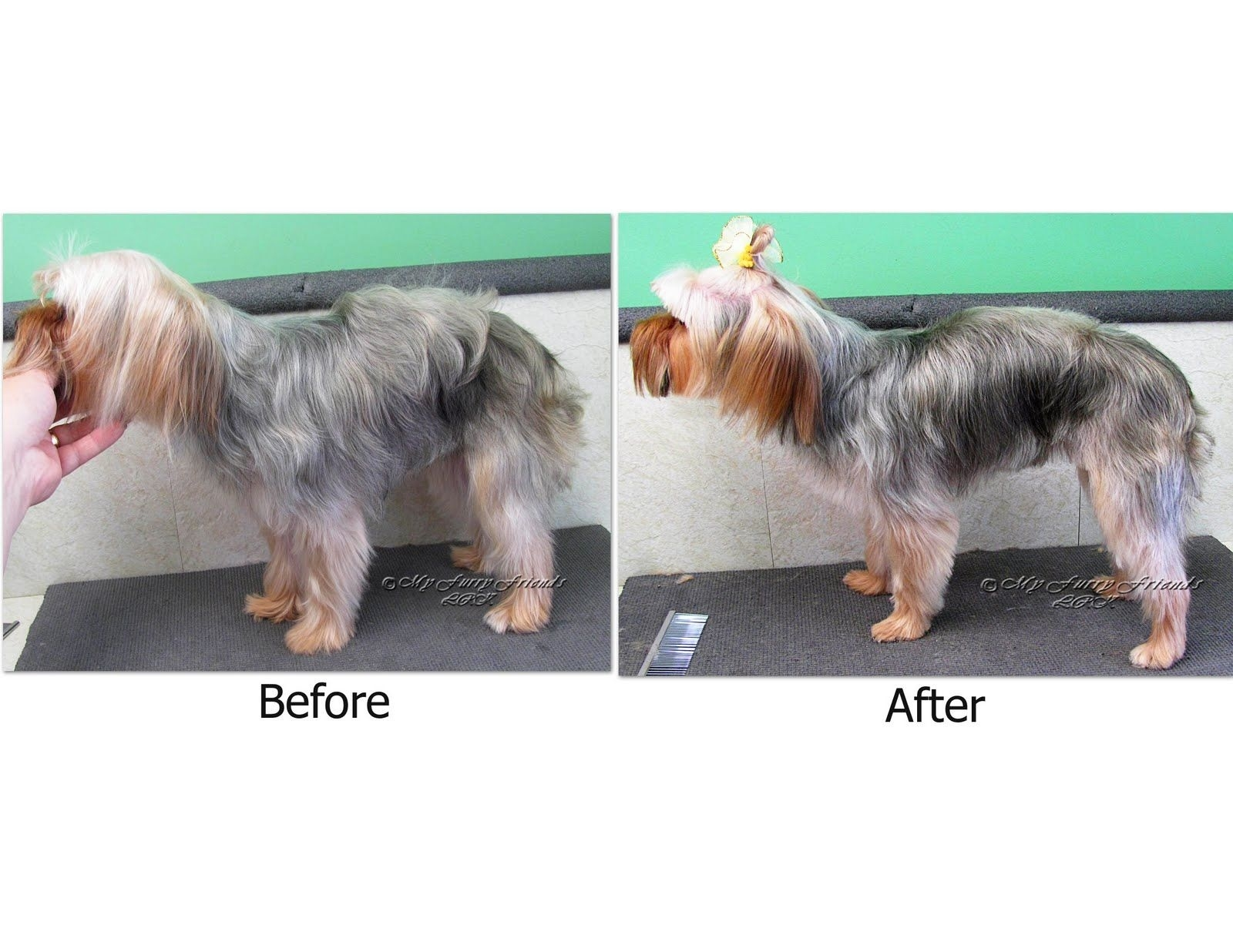 Yorkies Come In So Many Different Sizes And Body Shapes. They Also with Yorkie Haircuts For Thin Hair